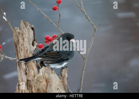 Dark eyed junco perches on weathered stump in driving snow with winterberry - Stock Photo