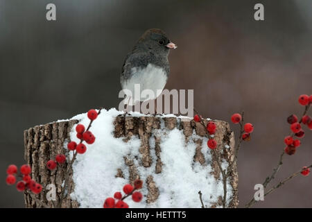 Dark eyed junco perches on snowy stump with winterberry in winter - Stock Photo