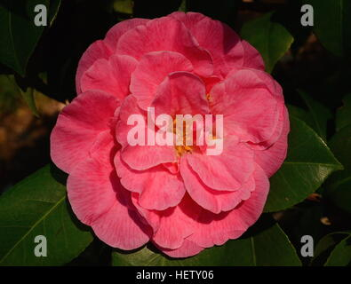 Pink camellia flower bathed in sunlight - Stock Photo
