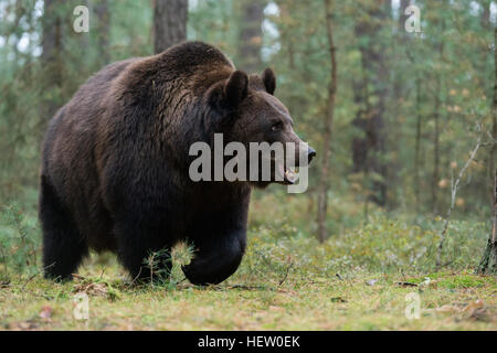 European Brown Bear / Braunbaer ( Ursus arctos ) walking though the undergrowth of the edge of a boreal pine forest. - Stock Photo