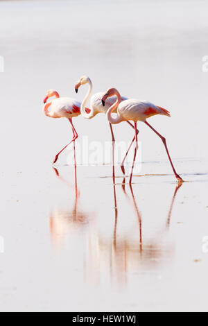 3 flamingos standing in the water during the Annual flamingo migration to Larnaca Salt Lake, Cyprus. - Stock Photo