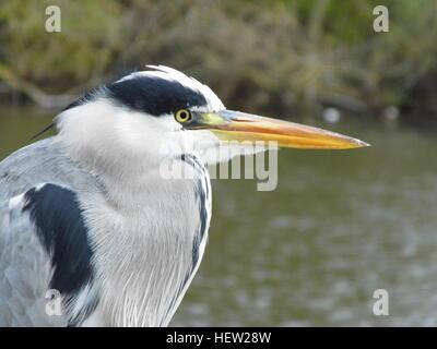 Grey Heron-Ardea cinerea side view - Stock Photo