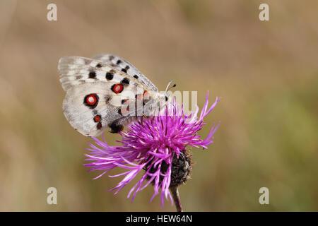 Apollo feeding on wildflower. Photographed at Tofta Skjutfält, Gotland, Sweden. - Stock Photo