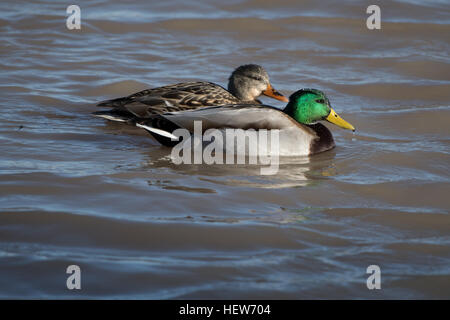 Mallard, (Anas platyrhinchos), drake and hen.  Bosque del Apache National Wildlife Refuge, New Mexico, USA. - Stock Photo