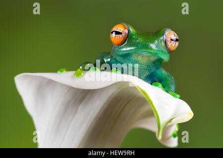 Madagascar tree frog in white flower - Stock Photo