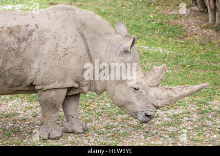 Side view of a white rhinoceros or square-lipped rhinoceros, Ceratotherium simum. These rhinos live in South Africa, - Stock Photo