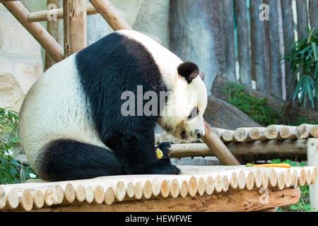 Image of a panda on nature background. Wild Animals. - Stock Photo