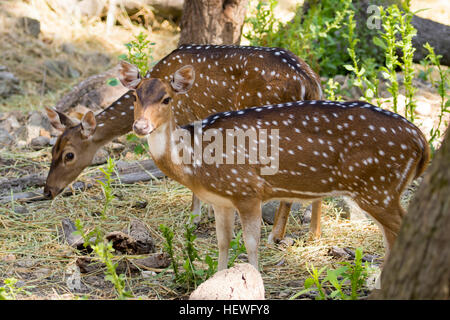 Image of a chital or spotted deer on nature background. wild animals. - Stock Photo