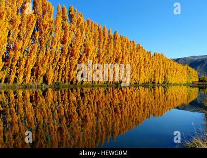 Poplar tree is commonly known as aspen and cottonwood. It belongs to a populus genus that is made of about 35 species - Stock Photo