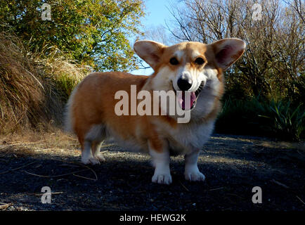The Pembroke Welsh Corgi  is a herding dog breed, which originated in Pembrokeshire, Wales. It is one of two breeds known as Welsh Corgi: the other is the Cardigan Welsh Corgi. The Pembroke Welsh Corgi is the younger of the two Corgi breeds and is a separate and distinct breed from the Cardigan.[1] The corgi is one of the smallest dogs in the Herding Group. Pembroke Welsh Corgis are famed for being the preferred breed of Queen Elizabeth II, who has owned more than 30 during her reign. These dogs have been favoured by British royalty for more than seventy years.