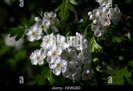 asian singles in whitethorn The best flowering trees for residential gardens  plant as a single specimen or in groupings best time to prune: just after flowering photo by: andrey zharkikh 9.