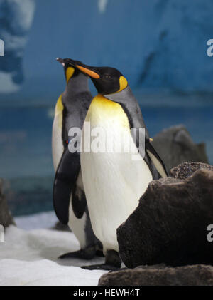 Aptenodytes patagonicus (king penguins) colonies are mainly located on islands surrounding Antarctica. Islands include - Stock Photo