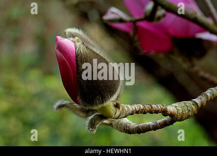 Magnolia is a large genus of about 210[1] flowering plant species in the subfamily Magnolioideae of the family Magnoliaceae. - Stock Photo