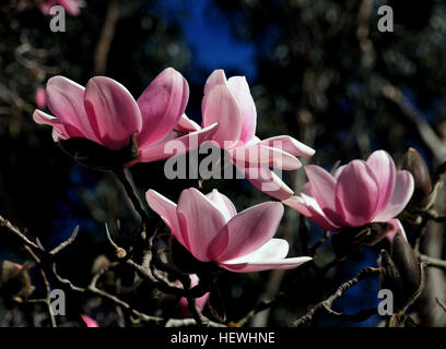 Magnolia is a large genus of about 210 flowering plant species in the subfamily Magnolioideae of the family Magnoliaceae. - Stock Photo