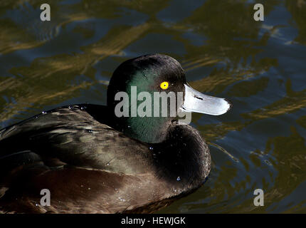 The New Zealand Scaup (Aythya novaeseelandiae) commonly known as a Black teal, is a diving duck species of the genus - Stock Photo