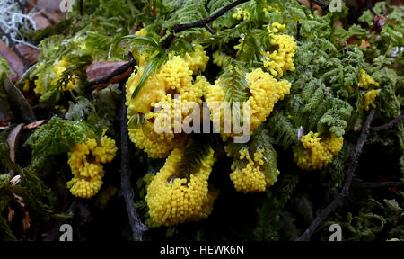 """Physarum polycephalum, literally the """"many-headed slime"""", is a slime mold that inhabits shady, cool, moist areas, such as decaying leaves and logs. Like slime molds in general, it is sensitive to light; in particular, light can repel the slime mold and be a factor in triggering spore growth."""