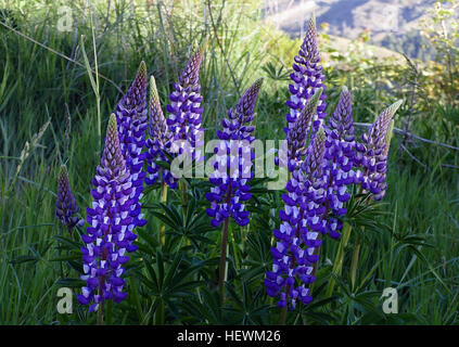 In some parts of New Zealand there are large tracts of Russell lupins which grow by the roadsides. Their combinations - Stock Photo