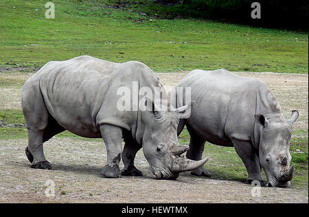 The white rhinoceros or square-lipped rhinoceros is the largest and most numerous species of rhinoceros that exists. - Stock Photo