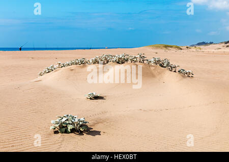 Indigenous dune plant growing in the beach sand against ocean skyline - Stock Photo