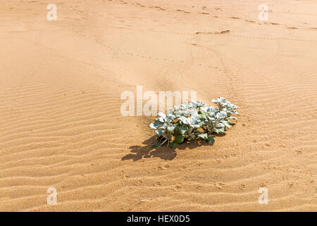 Indigenous dune plant growing in the beach sand patterns and texture - Stock Photo
