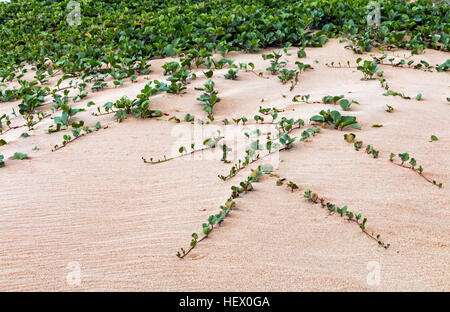 Close up of indigenous dune plant growing in the beach sand - Stock Photo