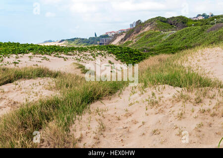 Indigenous plant growing in the beach sand on dunes - Stock Photo