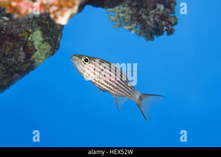 Largetoothed Cardinalfish, Pacific tiger cardinalfish or Big-toothed cardinal (Cheilodipterus macrodon) swims near - Stock Photo