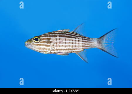 Largetoothed Cardinalfish, Pacific tiger cardinalfish or Big-toothed cardinal (Cheilodipterus macrodon) on background, - Stock Photo