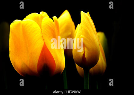 With all of the sentiments and meanings of tulips, it's not surprising that their popularity continues to endure. - Stock Photo