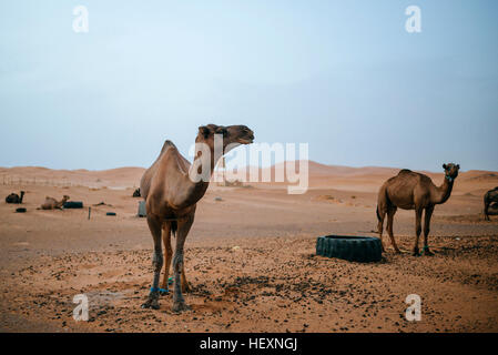 Morocco, Merzouga, camels at their resting place in the Erg Chebbi desert - Stock Photo