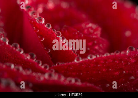 Blossom of red rose with water drops, close-up - Stock Photo