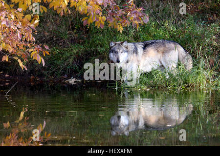 Suspicious wolf staring across a pond in autumn - Stock Photo