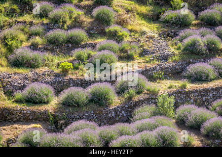 Beautiful terraced fields of lavender plants in soft afternoon light as seen on the old road on Hvar Island, Croatia. - Stock Photo