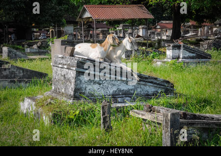 Photo of two white goats sitting on gravestone in cemetery in Surabaya in Java province, Indonesia. - Stock Photo