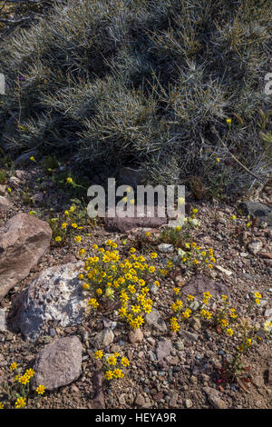 carpet bloom of Desert Gold wildflowers, Dante's View Road, Death Valley National Park, Death Valley, California - Stock Photo