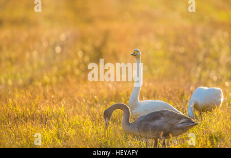 Whooper swans, Cygnus cygnus, on a field, one is looking in to the camera, Norrbotten, Sweden - Stock Photo