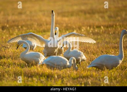 Whooper swans, Cygnus cygnus, on a field, one is spreading his wings, Norrbotten, Sweden - Stock Photo