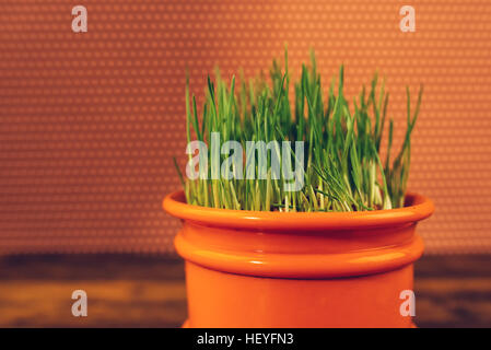 Fresh green wheat grass growing in plastic pot, selective focus - Stock Photo