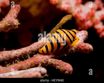 Underwater impage of Yellow And Black Striped Tiger Cowrie - Stock Photo