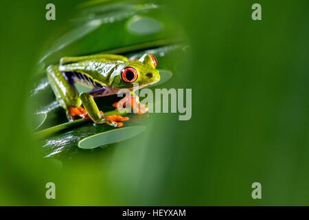 Red-eyed Tree Frog - La Laguna del Lagarto Lodge - Boca Tapada, San Carlos, Costa Rica [Controlled Specimen]