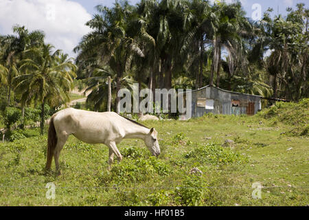Horse grazing in front of a house in the Dominican Republic, Caribbean - Stock Photo