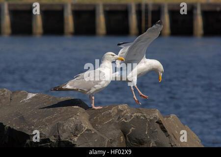 A pair of Herring gulls - Stock Photo