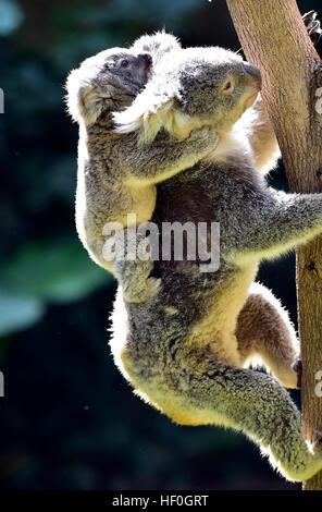 Guangzhou, China's Guangdong Province. 27th Dec, 2016. Koalas are seen at Chimelong Safari Park in Guangzhou, capital - Stock Photo