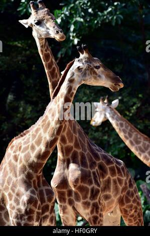 Guangzhou, China's Guangdong Province. 27th Dec, 2016. Giraffes are seen at Chimelong Safari Park in Guangzhou, - Stock Photo