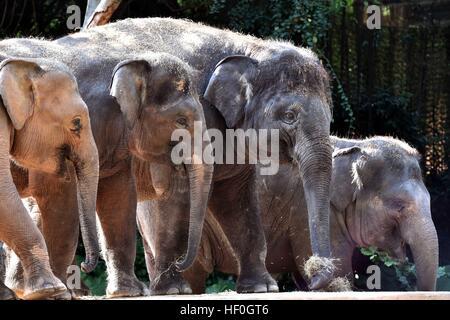 Guangzhou, China's Guangdong Province. 27th Dec, 2016. Elephants are seen at Chimelong Safari Park in Guangzhou, - Stock Photo