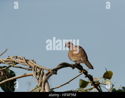 A plump laughing dove sitting on a vertical piece of slate with a soft  background - Stock Photo