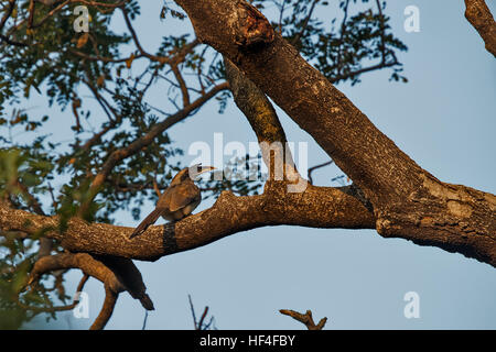 Indian Grey Hornbill with a Grasshopper in its Bill in Keoladeo National Park in India - Stock Photo