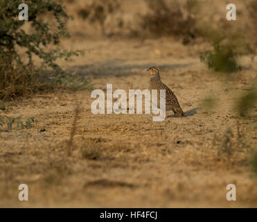 Gray Francolin (Francolinus pondicerianus), Keoladeo National Park or Keoladeo Ghana National Park - Stock Photo