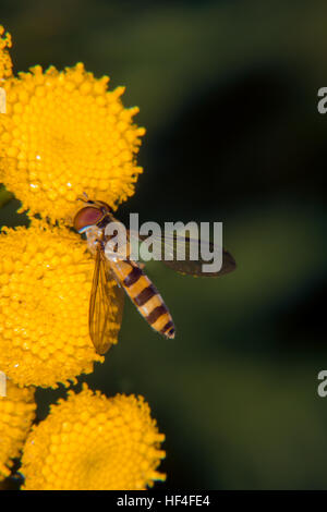 Yellow flower gets visit from fruit fly - Stock Photo