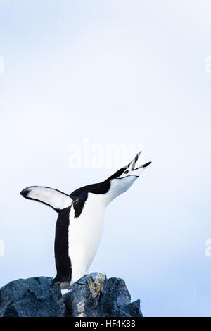 A Chinstrap penguin trumpts loudly. Antarctica. - Stock Photo